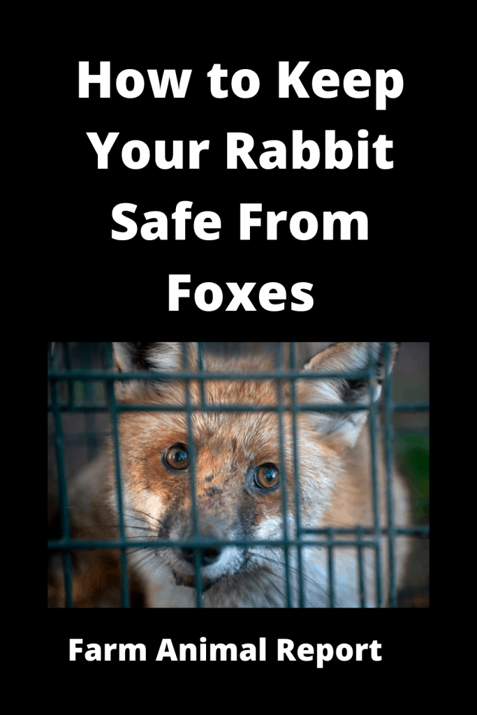 How to Keep Your Rabbit Safe From Foxes - 8 Solutions 3