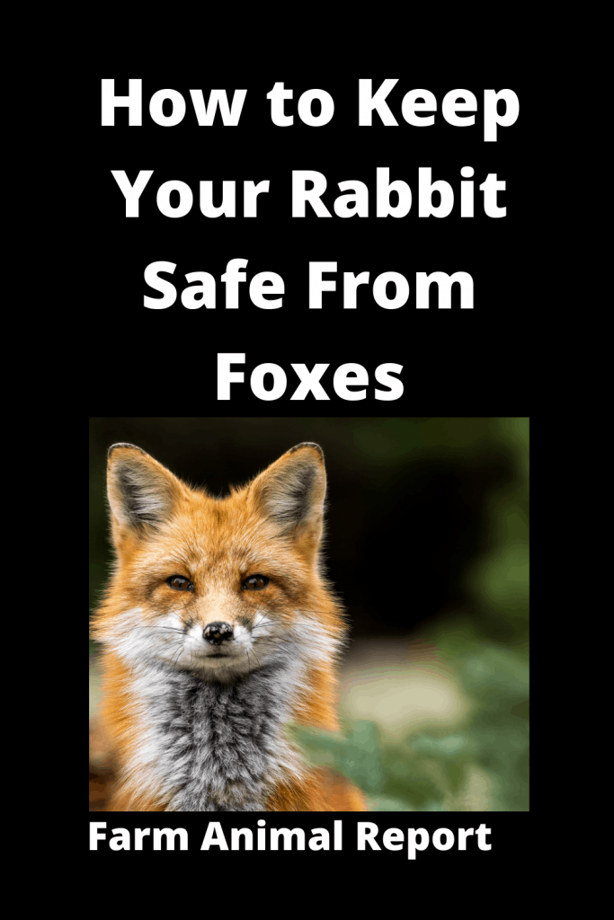 How to Keep Your Rabbit Safe From Foxes - 8 Solutions 1