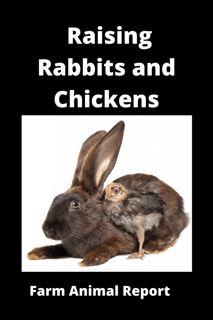 Do Chickens Get along with Rabbits / Pros / Cons 2