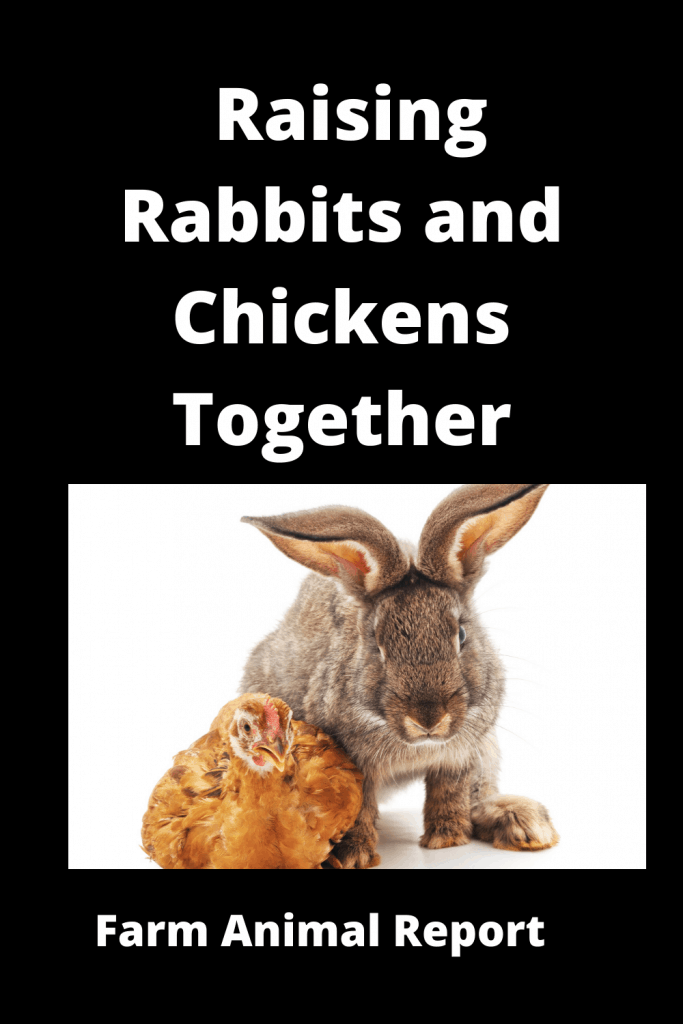 Do Chickens Get along with Rabbits / Pros / Cons 3
