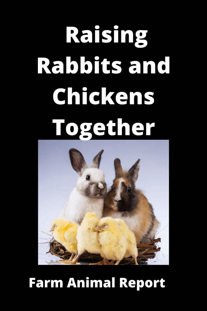 Raising Rabbits and Chickens Together - Pro's & Con's 1