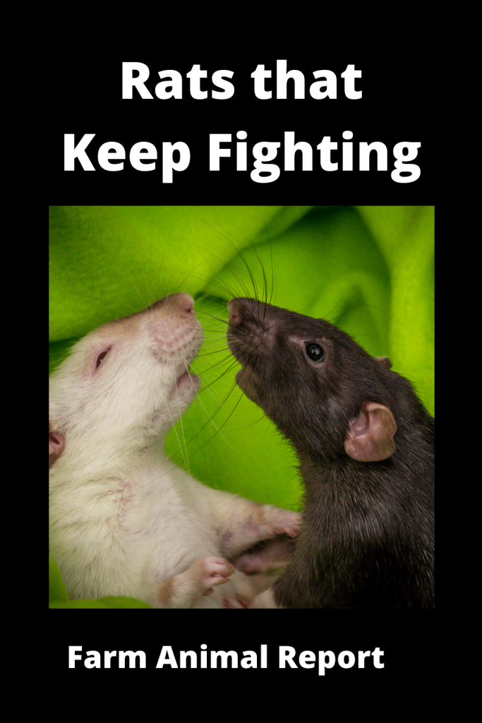 Dealing With Rats that Keep Fighting: A Practical Guide 1