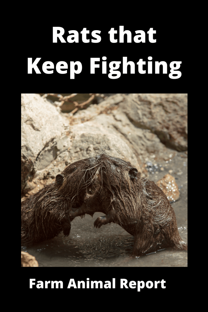 Dealing With Rats that Keep Fighting: A Practical Guide 2