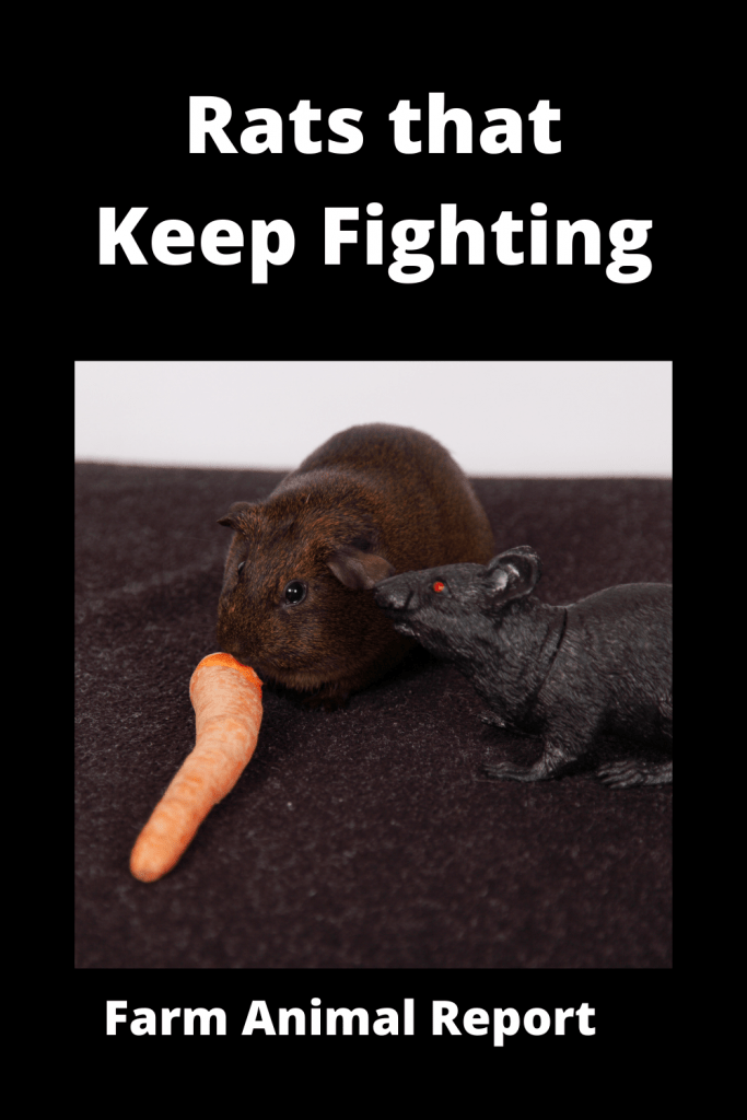 Dealing With Rats that Keep Fighting: A Practical Guide 3