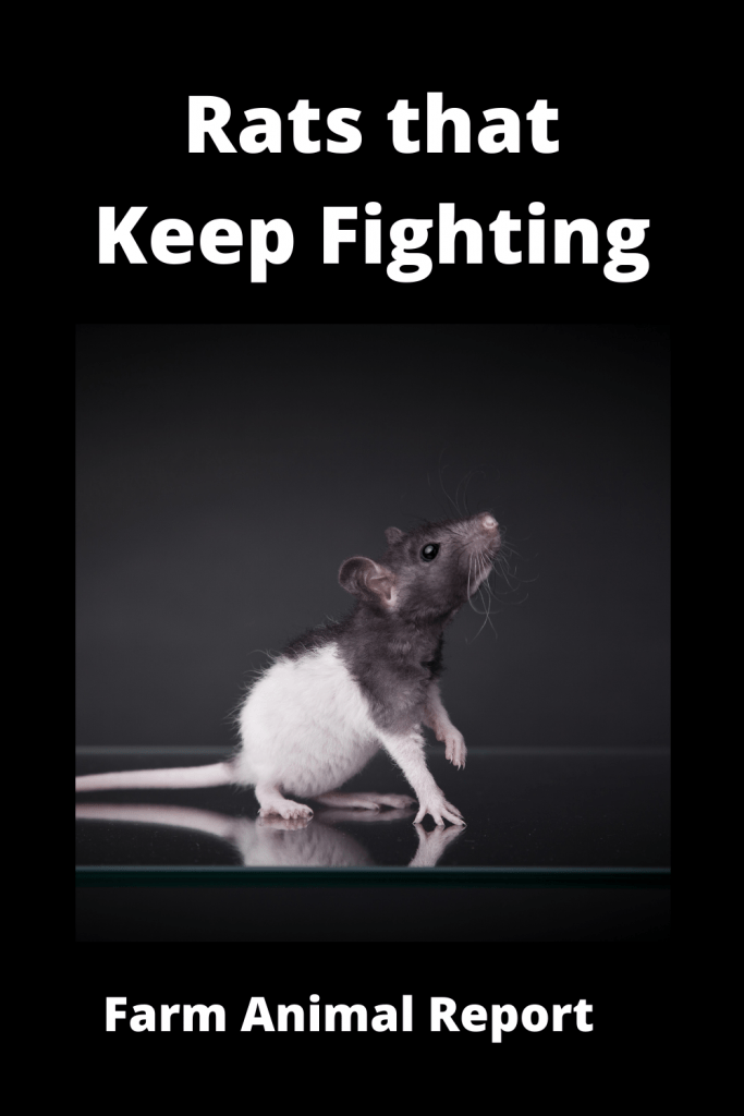 Dealing With Rats that Keep Fighting: A Practical Guide 4