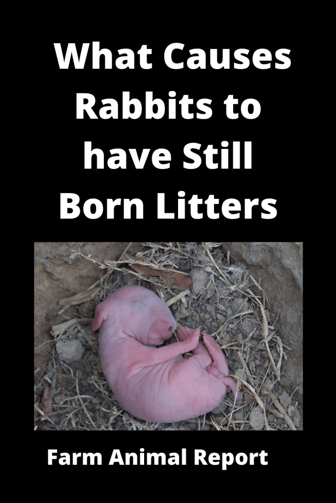 What Causes Rabbits to have Still Born Litters - 15 Reasons 1