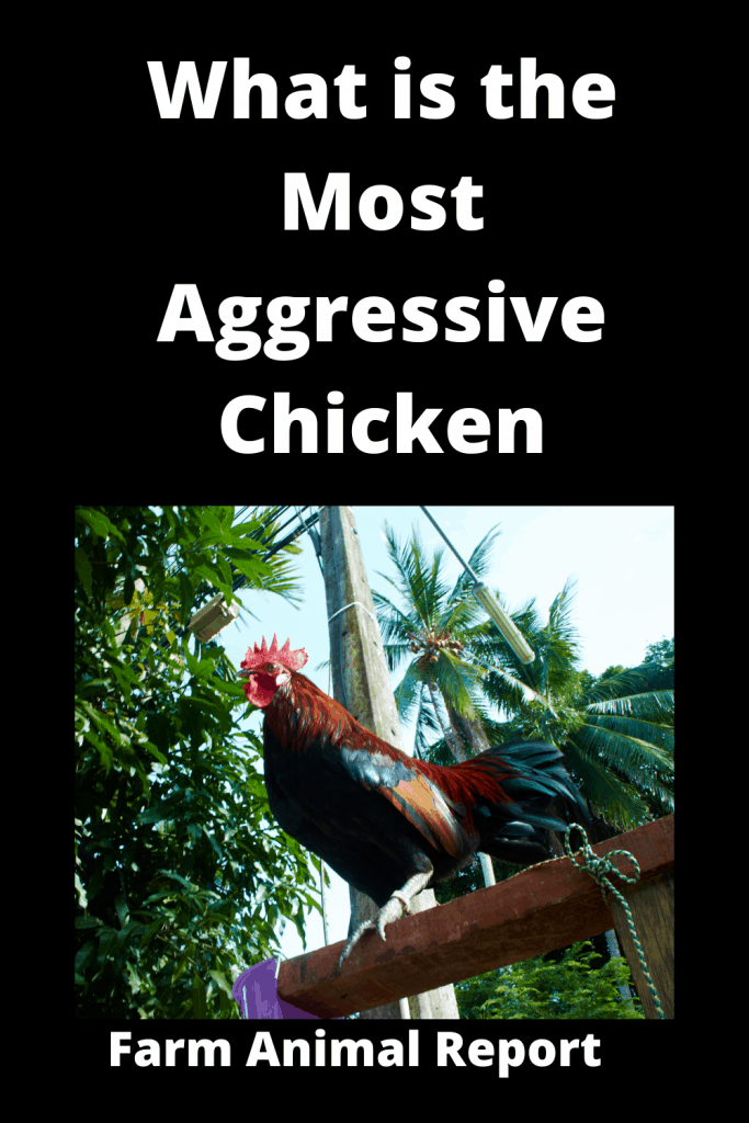 What is the Most Aggressive Chicken / 15 Qualities 3