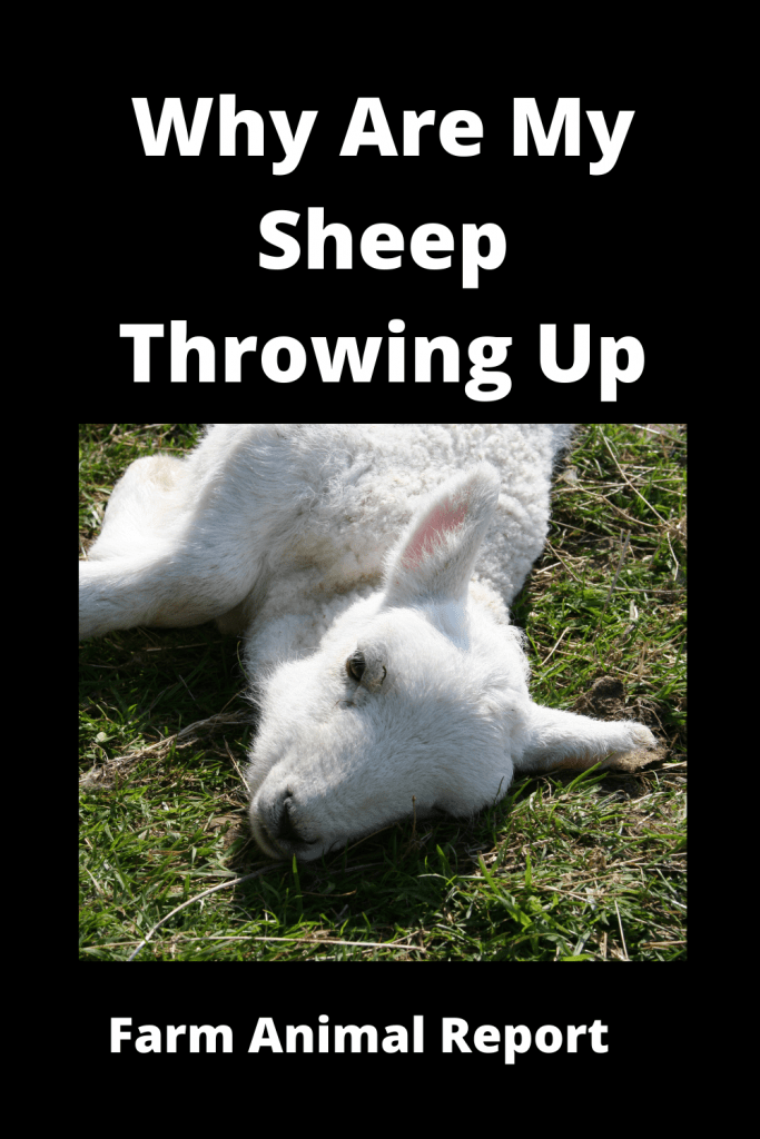 Why Are My Sheep Throwing Up (With 4 Videos) 2