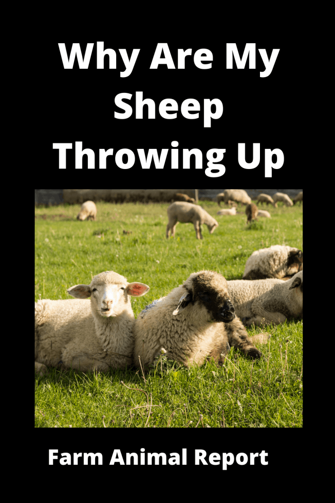 Why Are My Sheep Throwing Up (With 4 Videos) 1