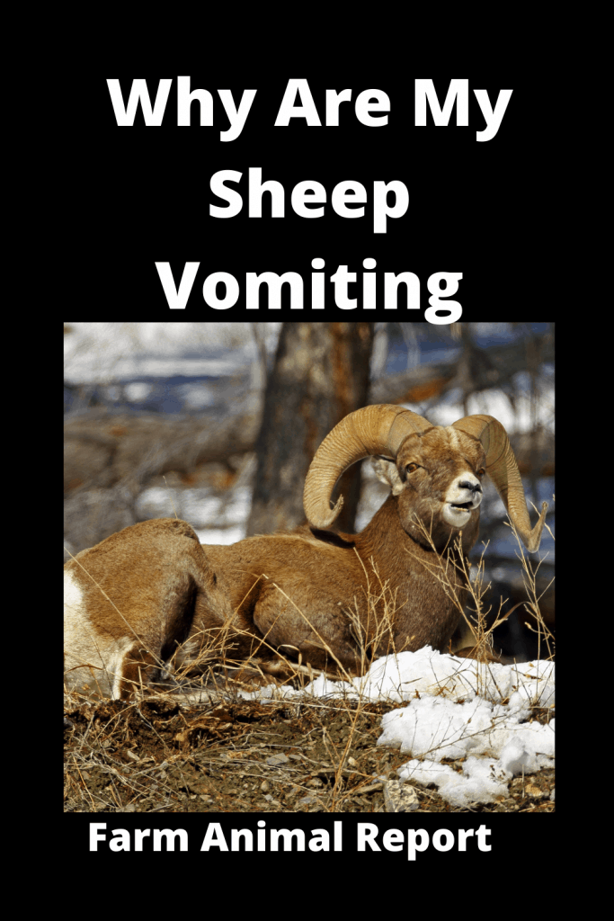 Why Are My Sheep Vomiting? (with 3 Videos) 4