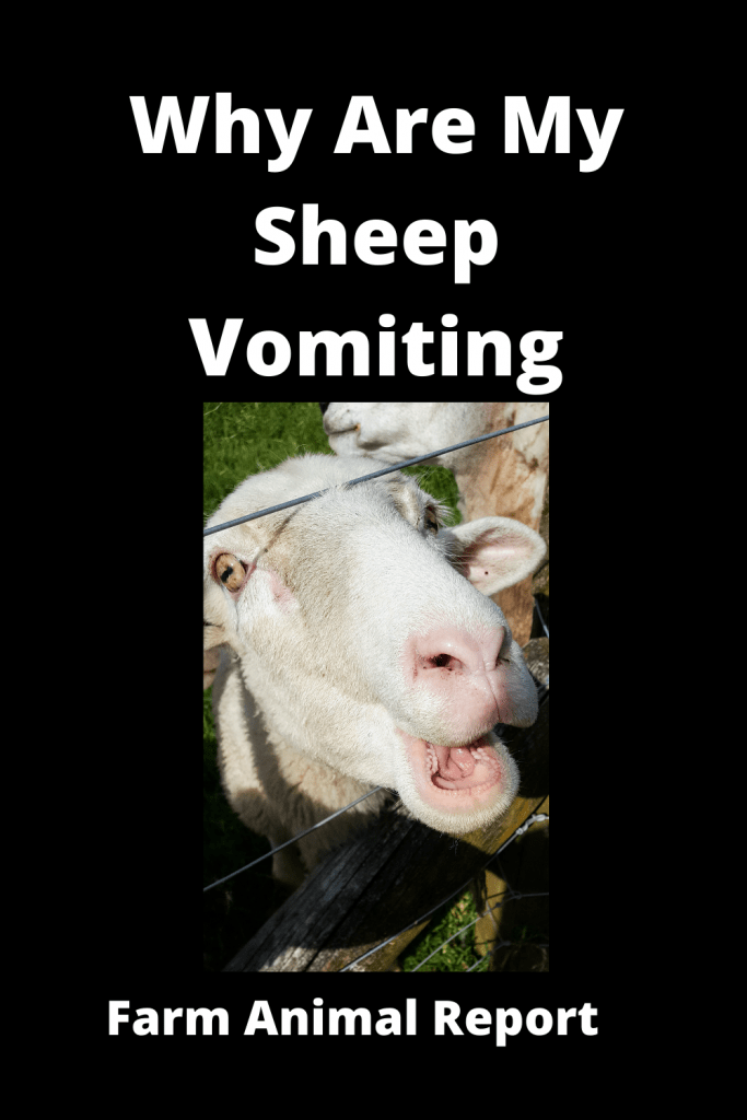 Why Are My Sheep Vomiting? (with 3 Videos) 1