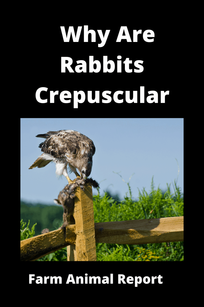 Why Are Rabbits Crepuscular (With Videos) 3