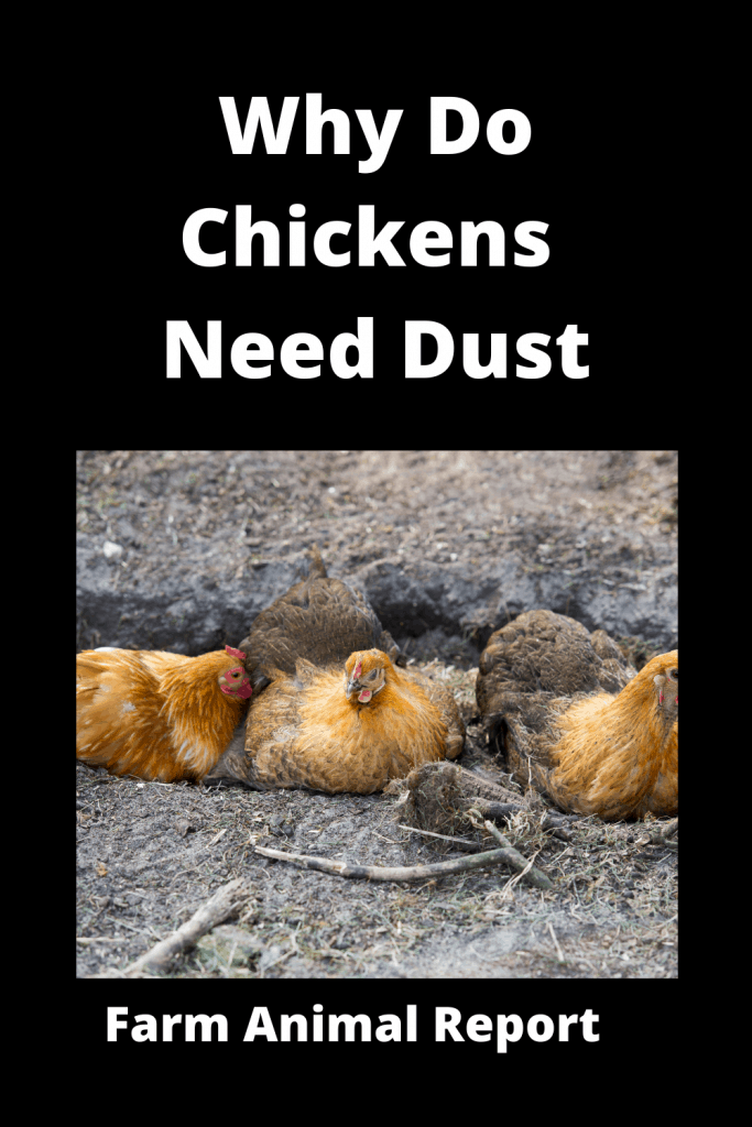 Why Do Chickens Bury Themselves in the Dirt / 7 Types 2