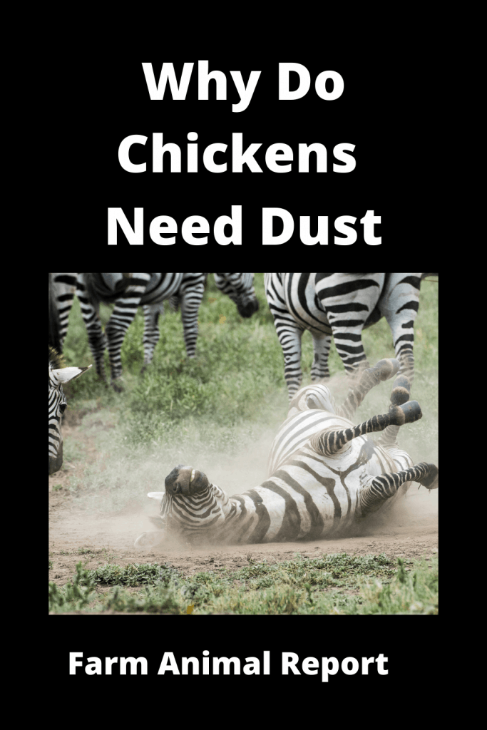 Why Do Chickens Bury Themselves in the Dirt / 7 Types 3
