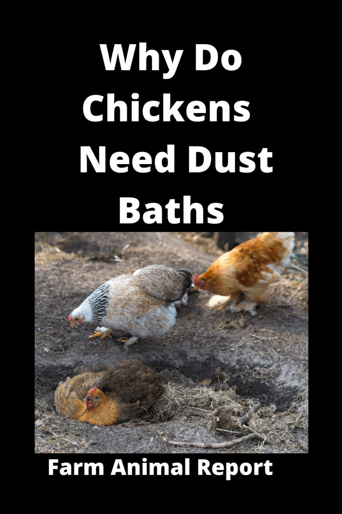 Why Do Chickens Bury Themselves in the Dirt / 7 Types 1