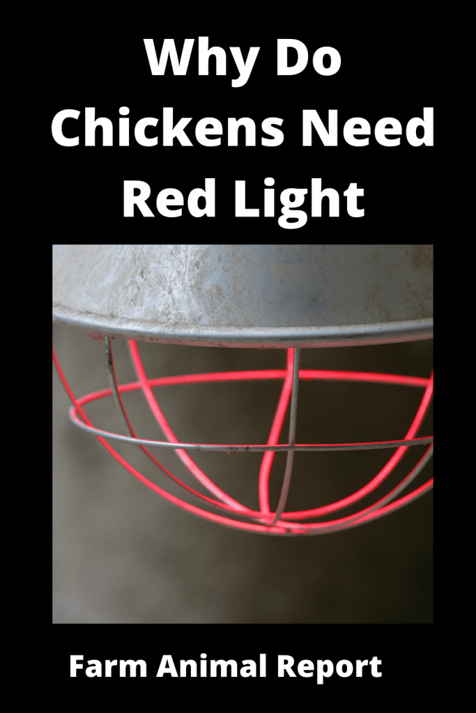 Why Do Chickens Need Red Light - 6 Main Reasons 4