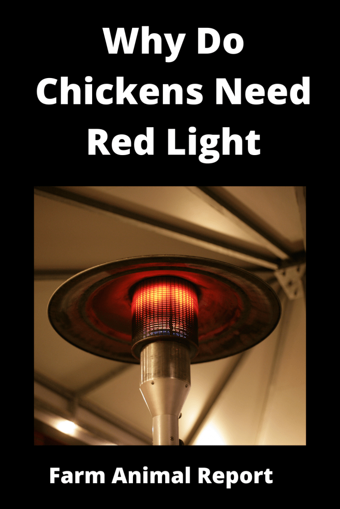 Why Do Chickens Need Red Light - 6 Main Reasons 5