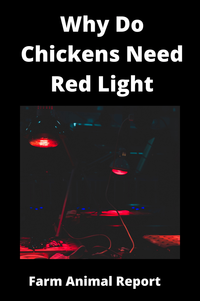 Why Do Chickens Need Red Light - 6 Main Reasons 7