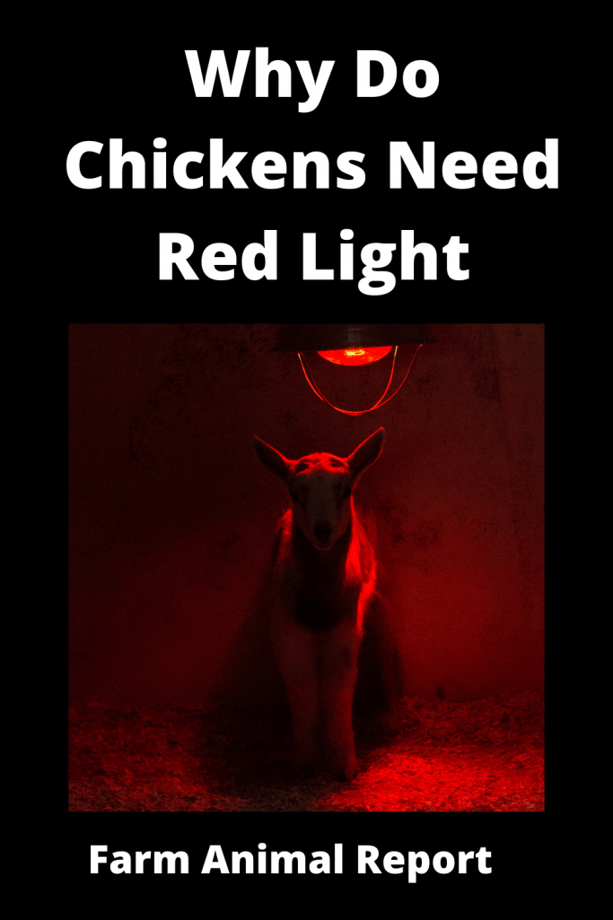 Why Do Chickens Need Red Light - 6 Main Reasons 2