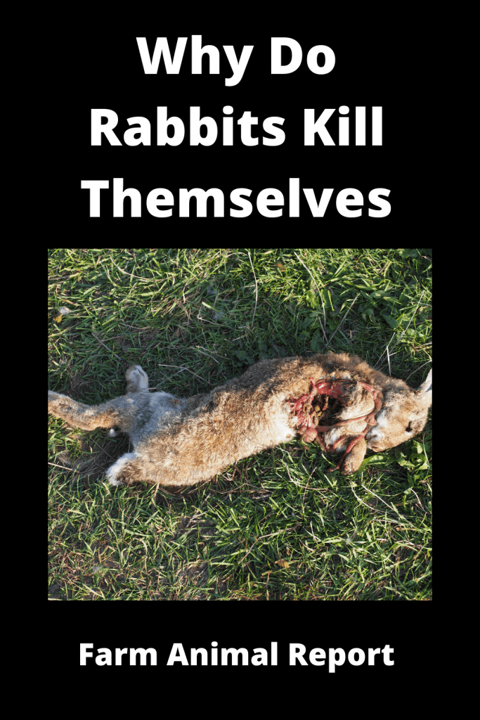 Why Do Rabbits Kill Themselves / 19 Reasons 2