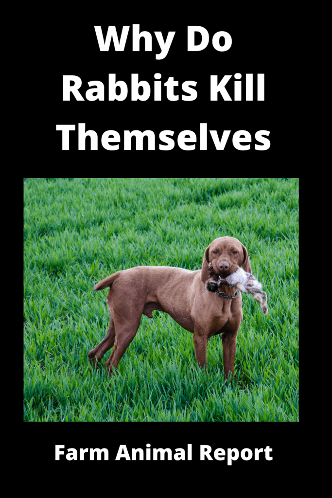 Why Do Rabbits Kill Themselves / 19 Reasons 3