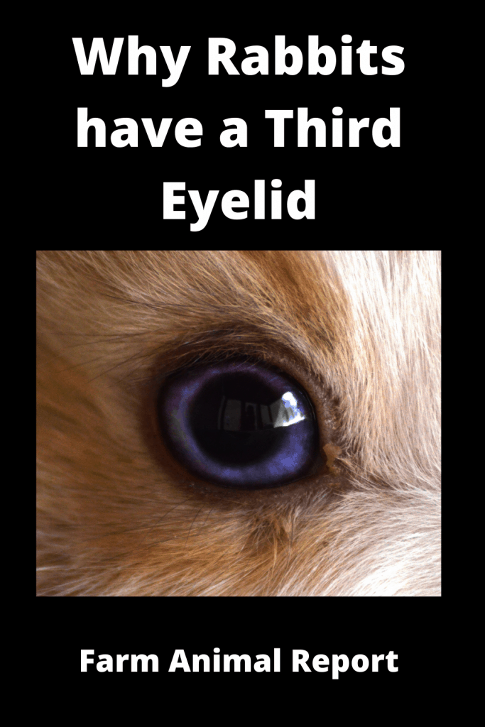 Why Rabbits have a Third Eyelid (with 3 Videos) 2