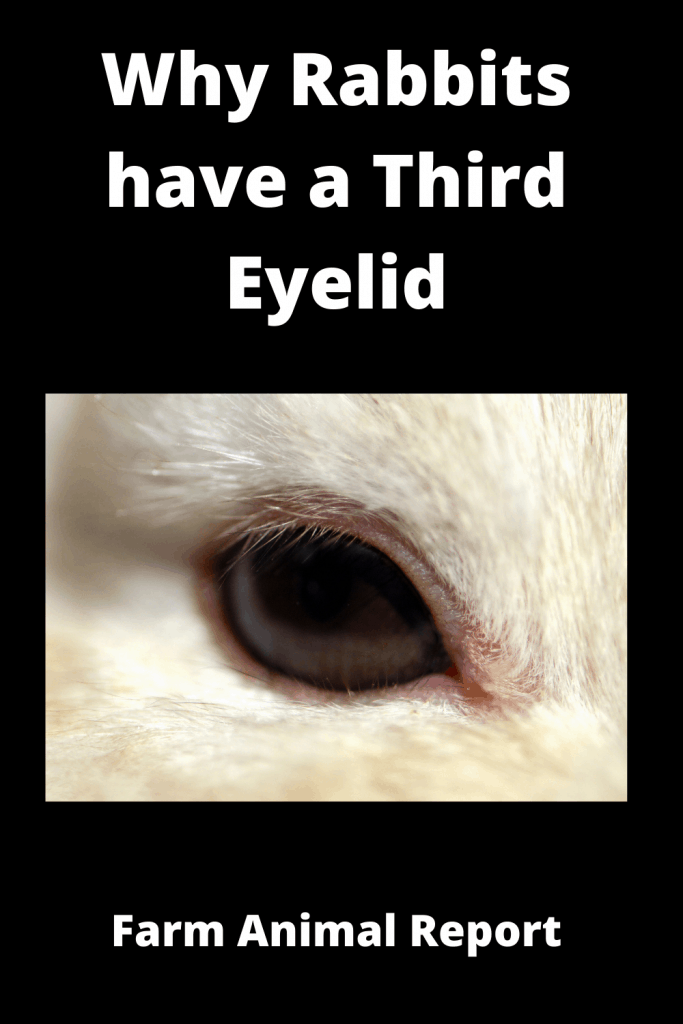 Why Rabbits have a Third Eyelid (with 3 Videos) 4