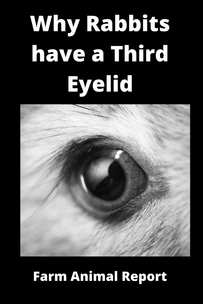 Why Rabbits have a Third Eyelid (with 3 Videos) 1