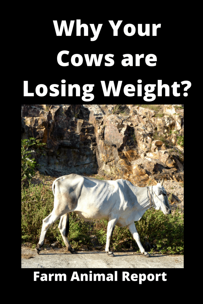 Why Cows are Losing Weight? 13 Reasons 1