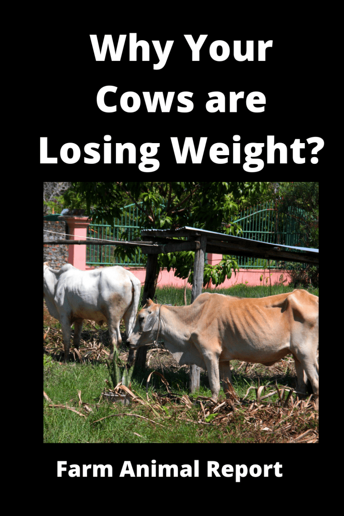 Why Cows are Losing Weight? 13 Reasons 3