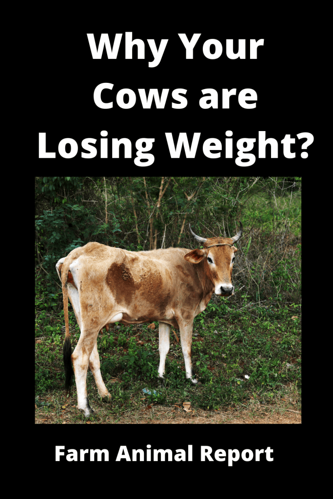 Why Cows are Losing Weight? 13 Reasons 4