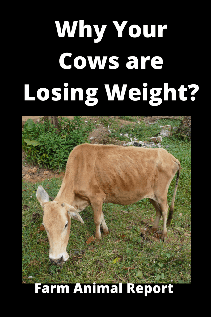 Why Cows are Losing Weight? 13 Reasons 2