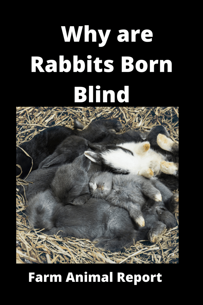 Why are Rabbits Born Blind (With 4 Videos) 3