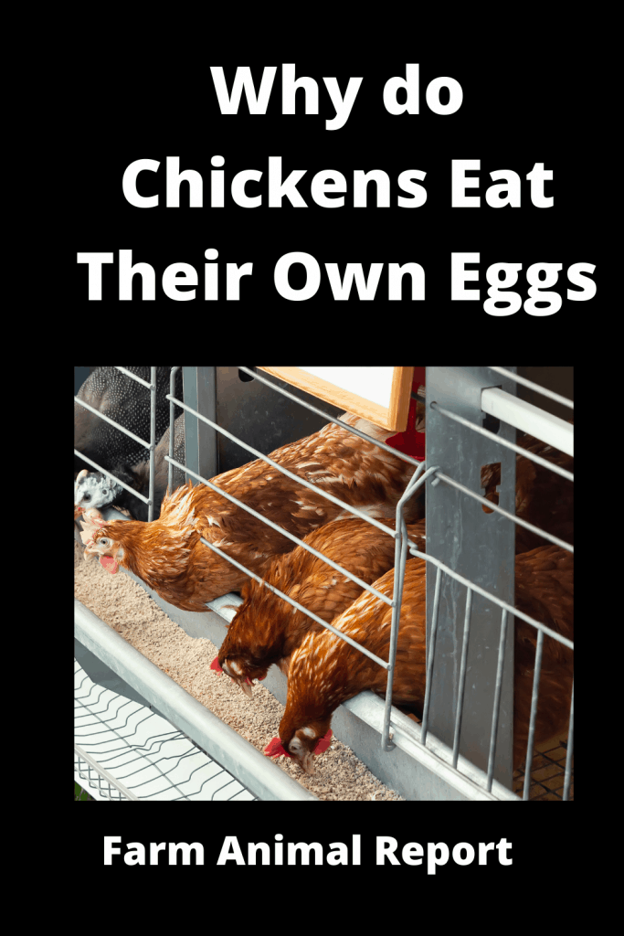 Why do Chickens Eat Their Own Eggs? 9 Reasons 3