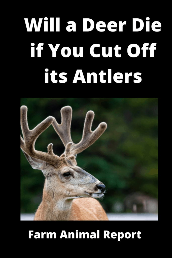 Will a Deer Die if You Cut Off its Antlers / Breeding / Velvet Harvesting 2