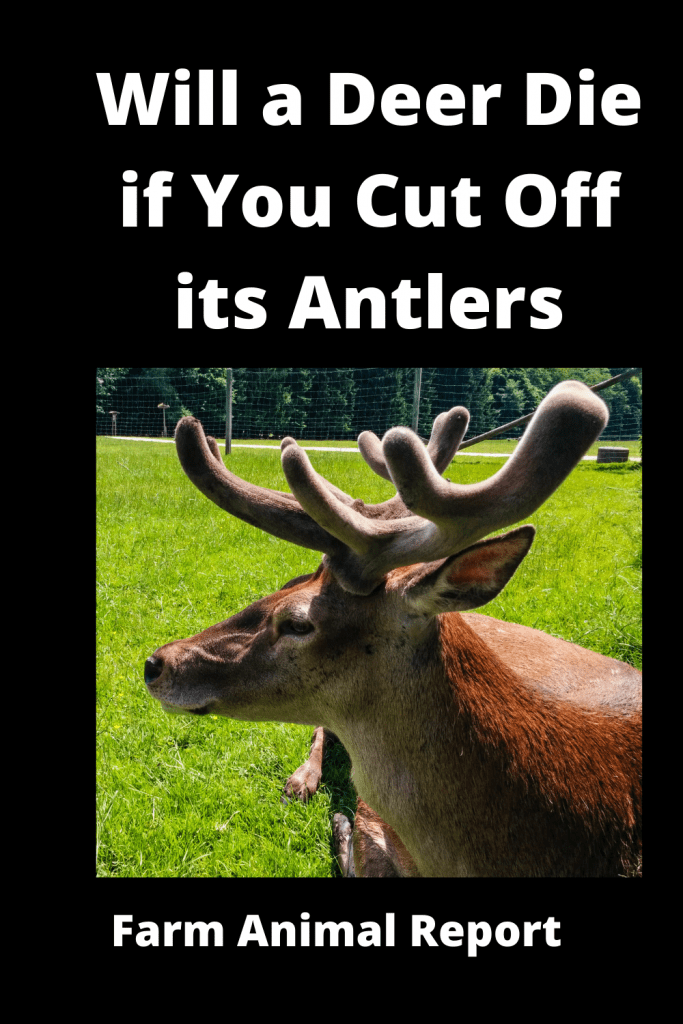 Will a Deer Die if You Cut Off its Antlers / Breeding / Velvet Harvesting 3