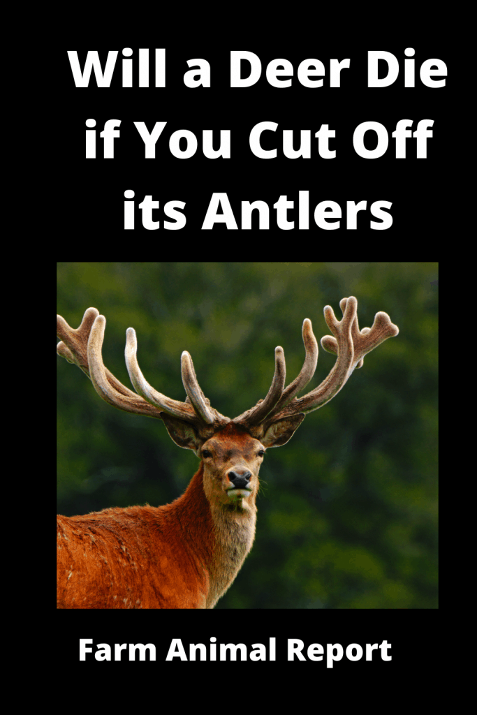 Will a Deer Die if You Cut Off its Antlers / Breeding / Velvet Harvesting 4