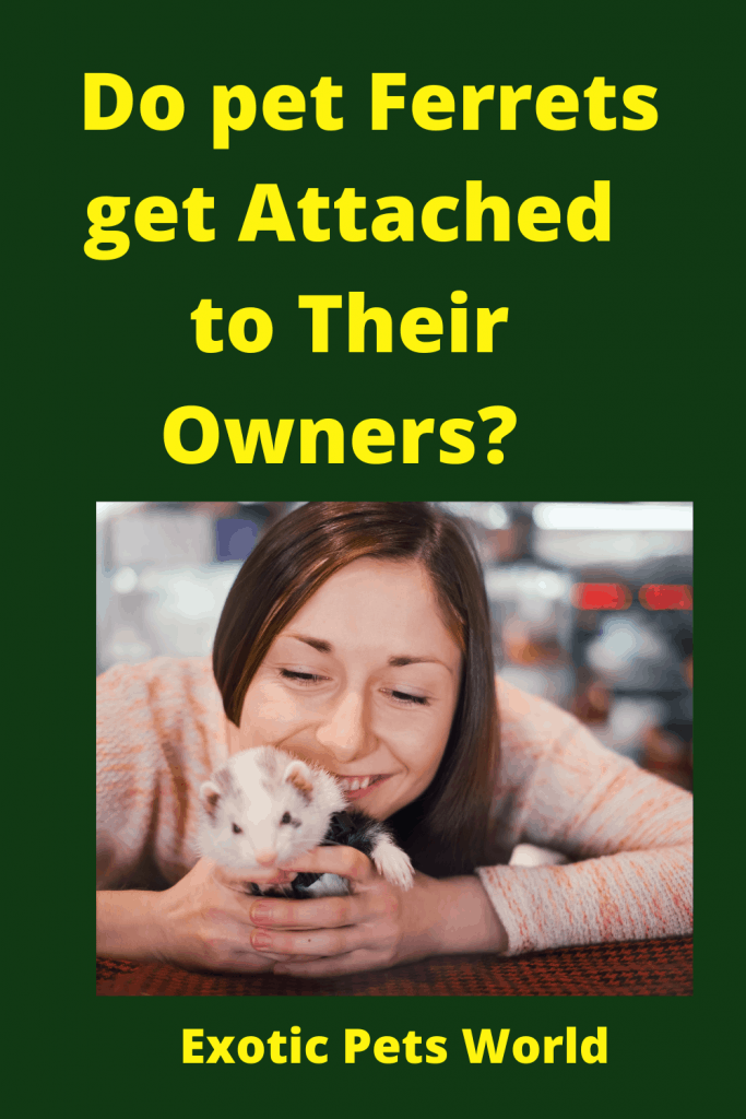Do pet Ferrets get Attached to Their Owners? 3
