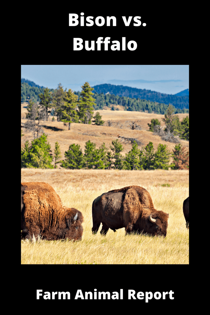 Bison vs. Buffalo: What's the difference? 3