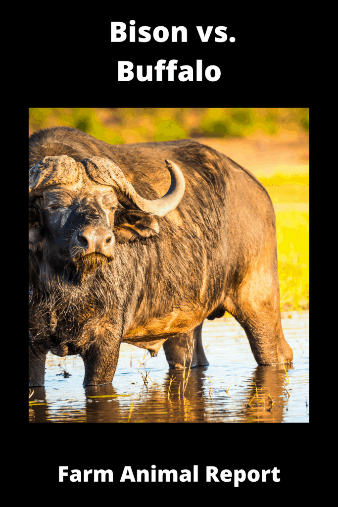 Bison vs. Buffalo: What's the difference? 4