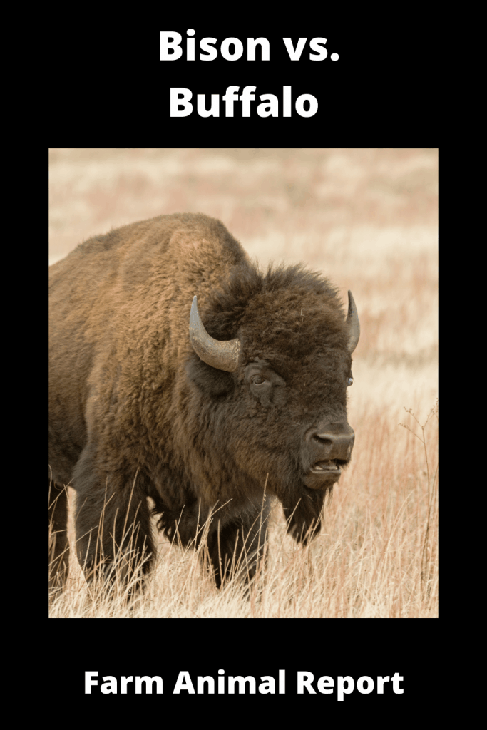 Bison vs. Buffalo: What's the difference? 1