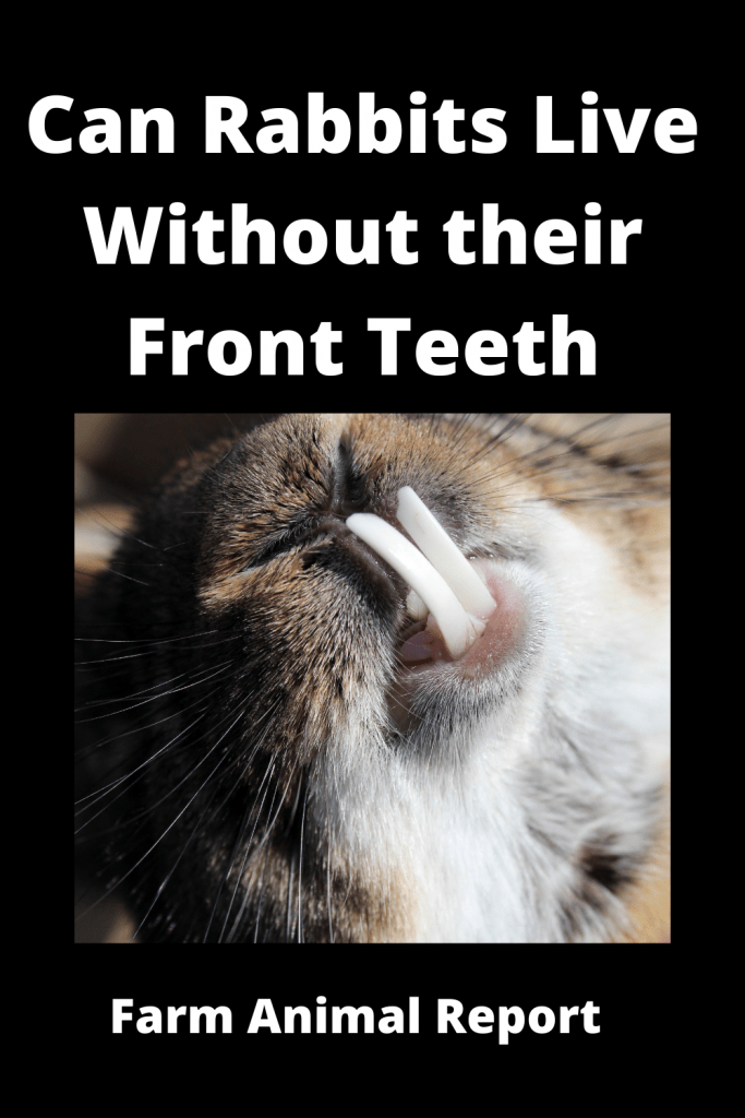 Can Rabbits Live Without their Front Teeth? 1