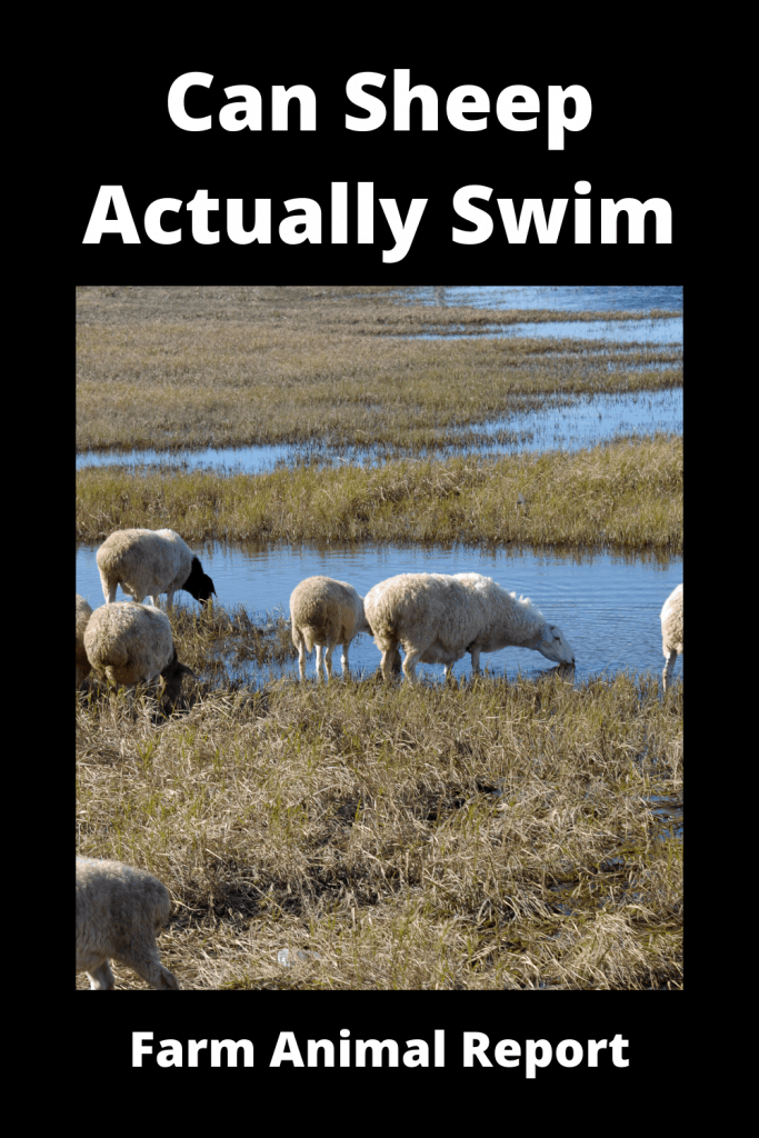 Can Sheep Actually Swim? Yes, Here's Proof 2