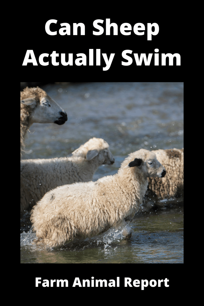 Can Sheep Actually Swim? Yes, Here's Proof 3