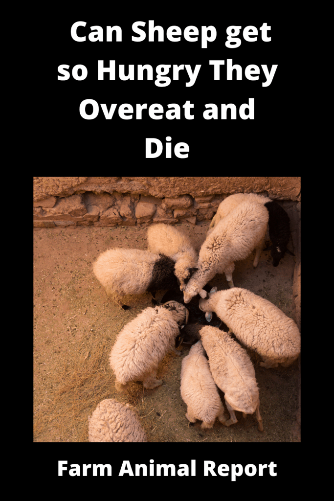 Can Sheep get so Hungry They Overeat and Die 2
