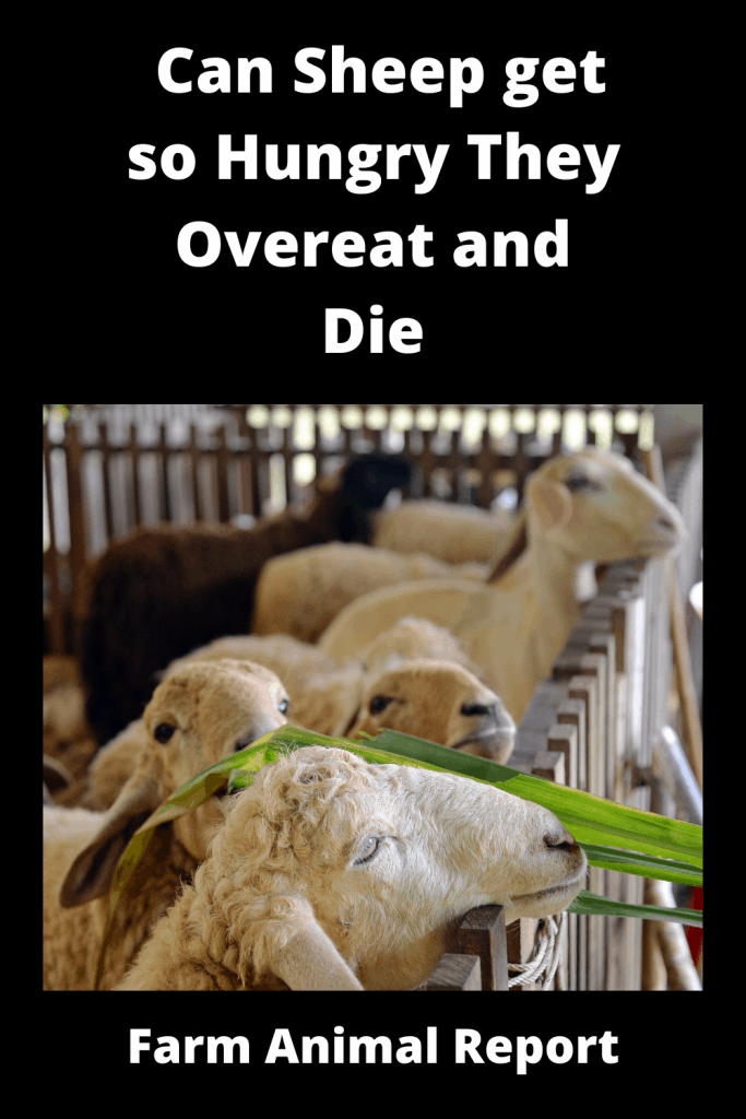 Can Sheep get so Hungry They Overeat and Die 3