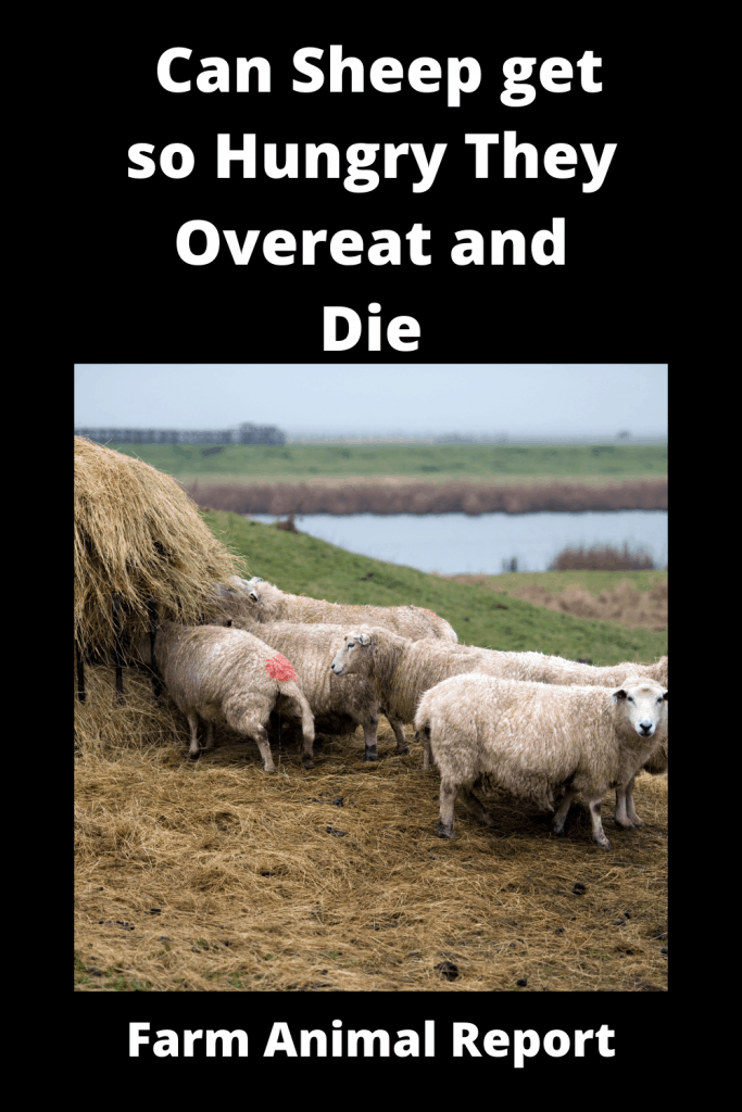 Can Sheep get so Hungry They Overeat and Die 4