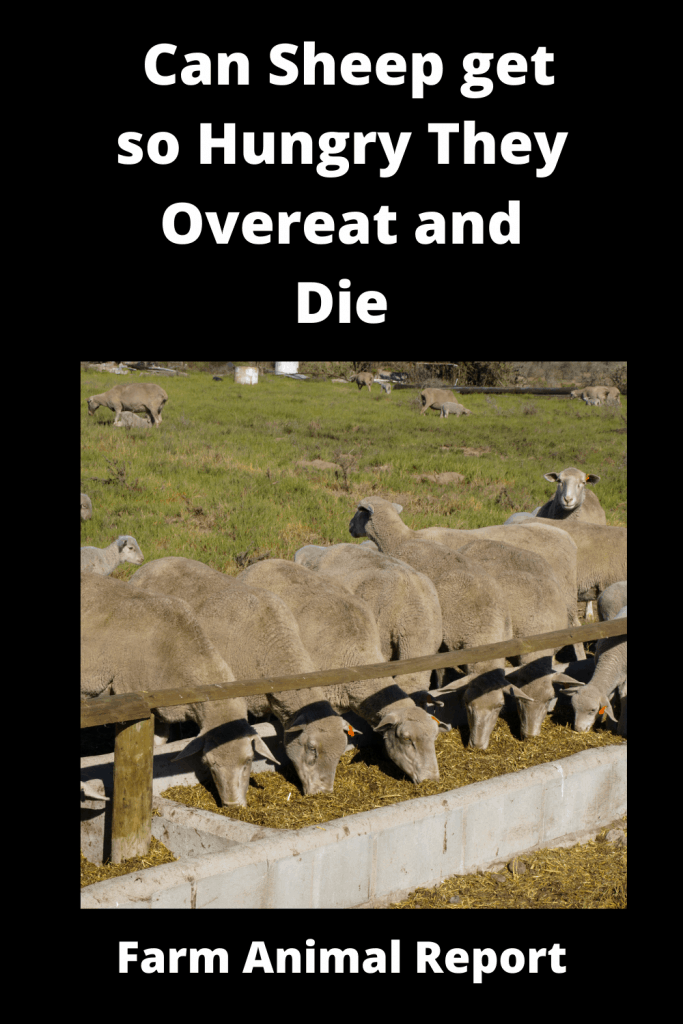 Can Sheep get so Hungry They Overeat and Die 1