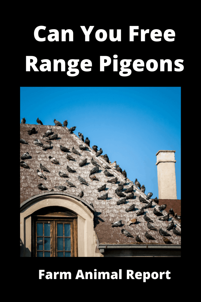 Can You Free Range Pigeons - (with Videos) 1