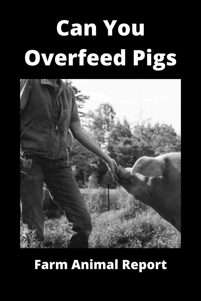 Can You Overfeed Pigs - Video Proof 2